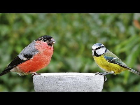 Bird Song and Sounds : Garden Birds, Video and Birdsong Extravaganza