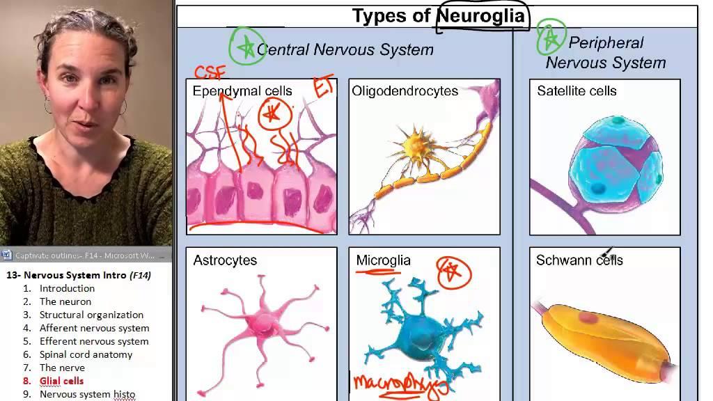 Nervous sytem 8- Glial cells - YouTube