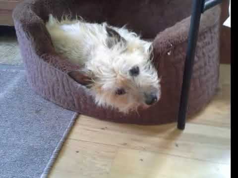 Maggie the Cairn Terrier 2000-2015