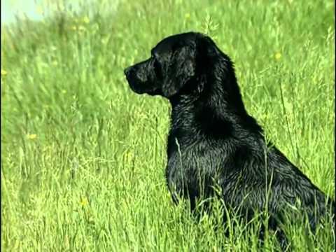Le Labrador Retriever : Origine, personnalité, éducation, santé, hygiène, choix du chiot