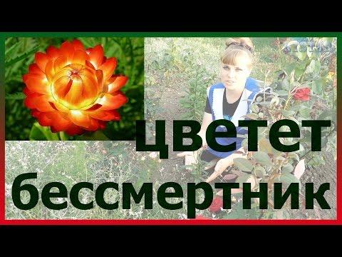 БЕССМЕРТНИК ЦМИН ГЕЛИХРИЗУМ цветет! Посадка выращивание уход вредители болезни подкормка размножение