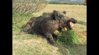 Tir de plusieurs sangliers dont un 146 kgs