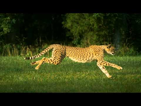 Cheetah Running In Slow Motion - Amazing Footage