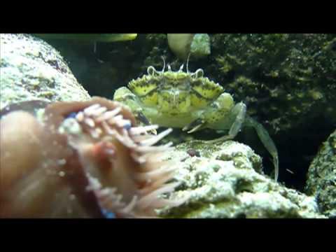 Invasive Species: The European Green Crab - Educational Video