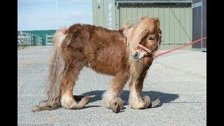 Копыта у пони настолько отросли, что не давали ему ходить