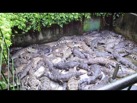 Gentleman crocodile farm  FunnyCat.TV