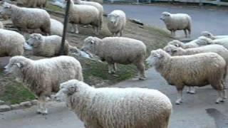 六甲山牧場・めん羊舎前にて夕方行われる 「シープベルを鳴らそう」のよ...
