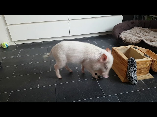 Paul the pig clears his room