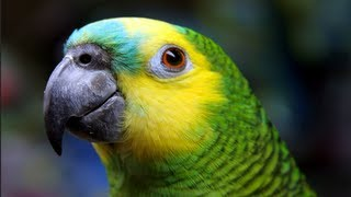 FUNNY WHISTLING PARROT