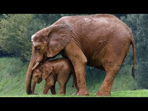 Animal Mothers Protecting Their Babies from danger -  Mom protects baby animals