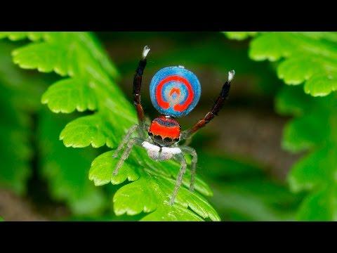 Peacock Spider 16 (Maratus splendens)