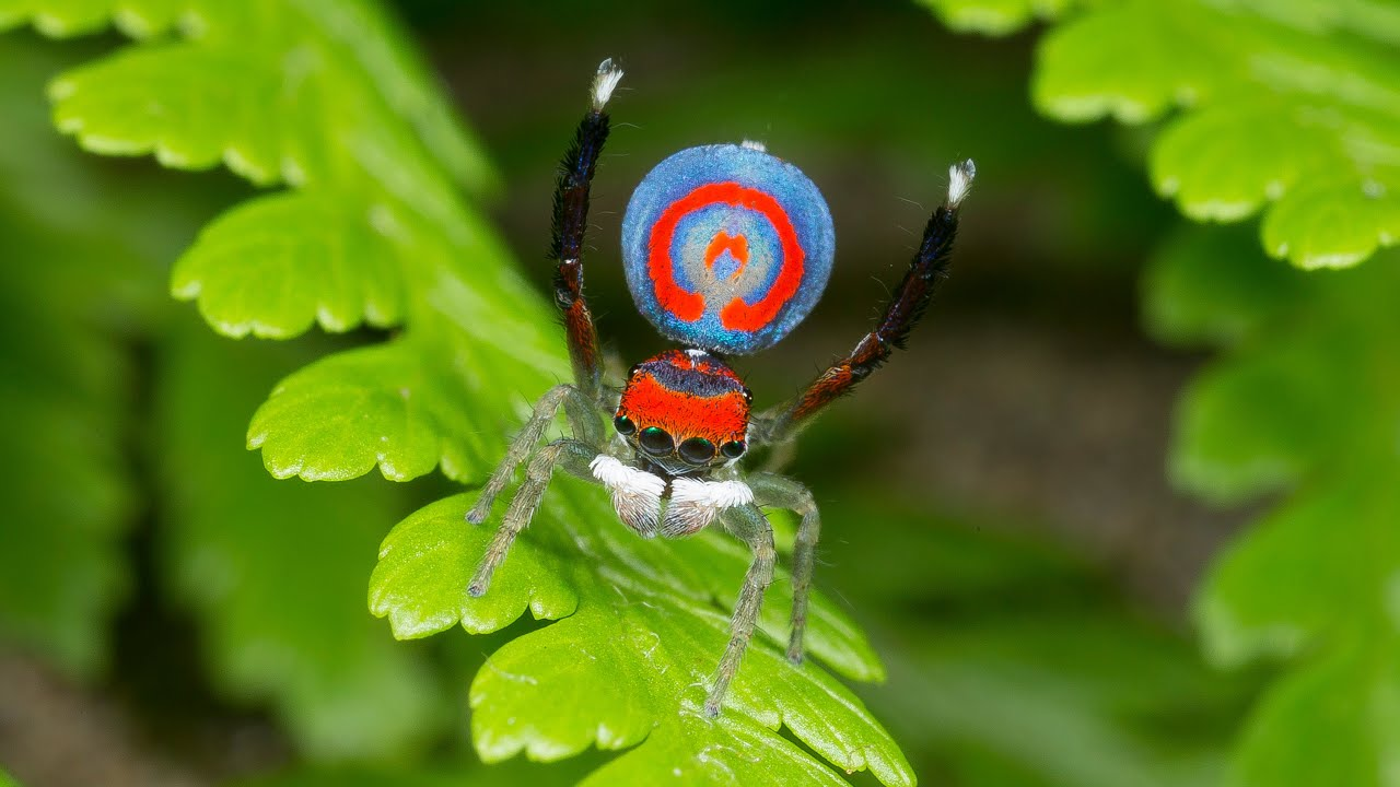 The Maratus spiders also known as the peacock spiders belong to the spider genus of the family Salticidae, regarded as the jumping spiders.