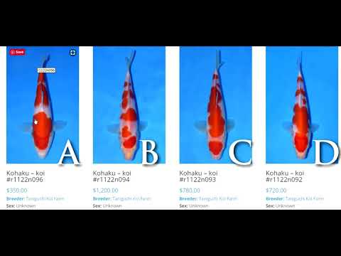 How To Select Young Kohaku Koi