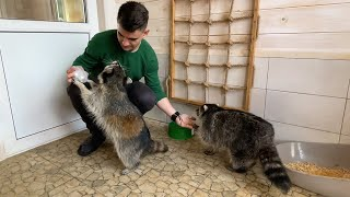 RACCOONS ZEPHYRKA AND GORUSHKA SEARCH THE GUEST / African hedgehogs tamarins taste the delicacy