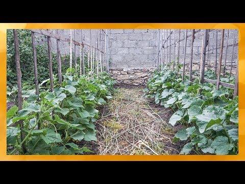 Шпалера для выращивания огурцов в открытом грунте.