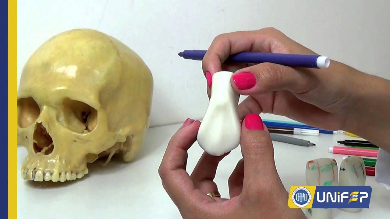 Anatomia Dentária Canino Superior - YouTube