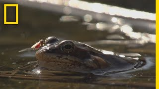 Frogs Come Alive After Winter Thaw | National Geographic