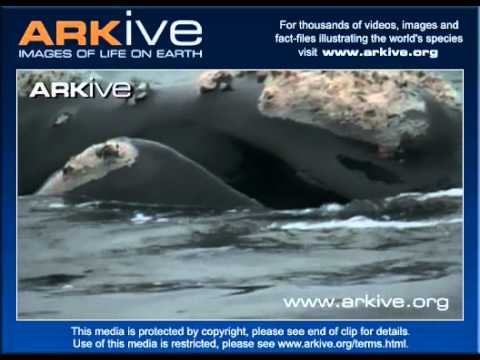 Southern Right Whale Feeding