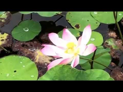 Search blue lotus flower singapore mp3 music sby japanese garden in singapore the water lily pond mightylinksfo