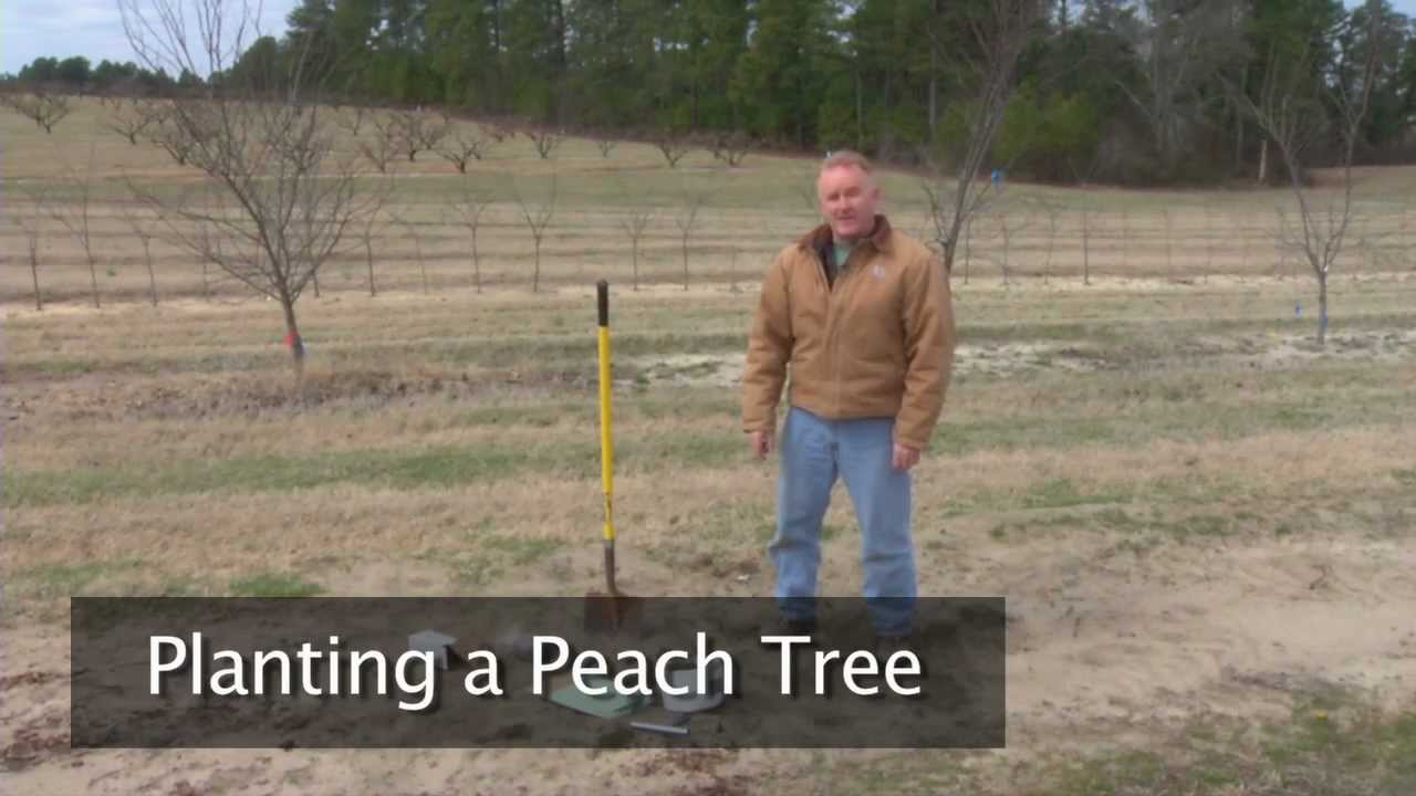Planting A Peach Tree You