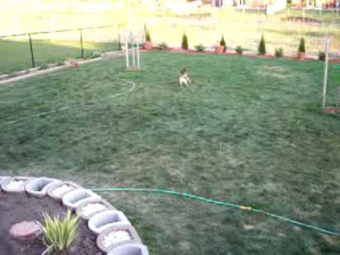 Border Terriers & Poodle 5