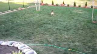 Border Terriers & Poodle 5