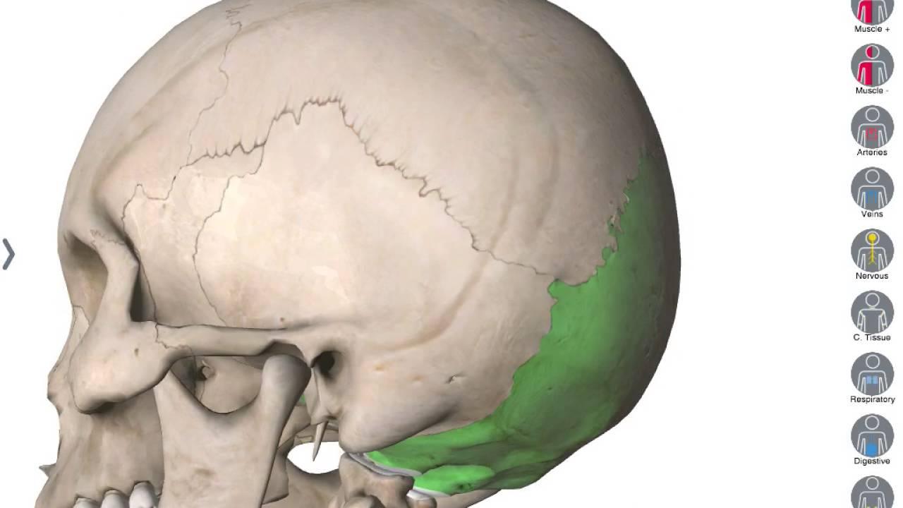 Huesos del cráneo 3D - YouTube