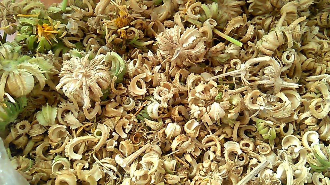 Собрала семена календулы