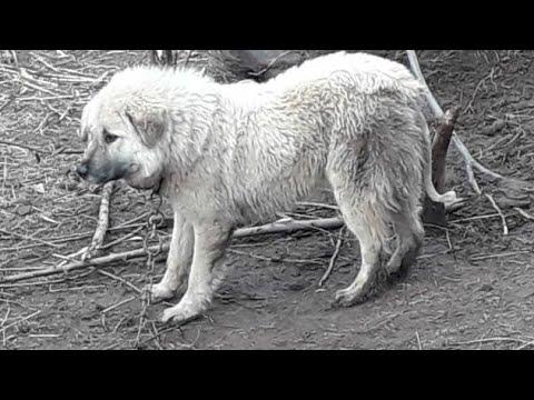 Magnificent Dog Breed | Bakarwal Dog | Gaddi Dog | Tibetan Mastiff