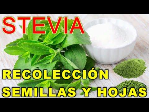 epoca de cosecha de stevia y diabetes