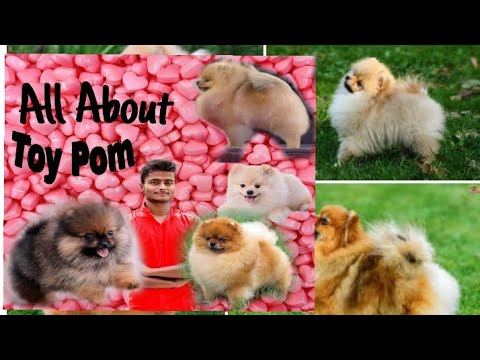 Toy Pom All information |How to Identify pure breed ?