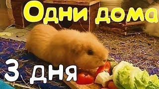 Морские свинки одни 3 дня / ЭКСПЕРИМЕНТ