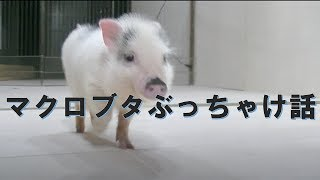 マイクロブタの ぶっちゃけ話‼ thumbnail