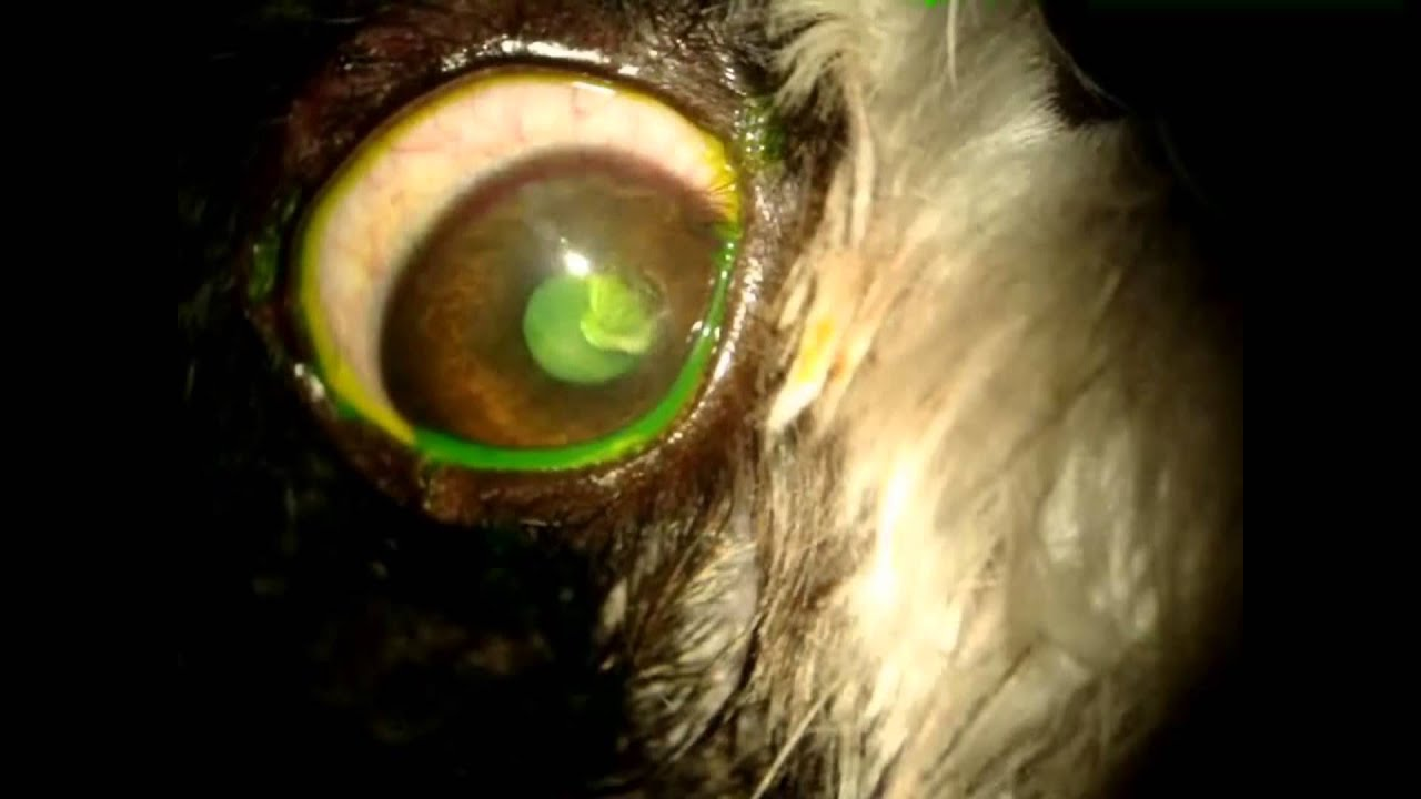 Free Contact Lens Trial >> Bandage Contact Lenses Acrivet - YouTube
