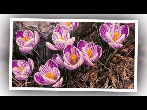 Про цветы Первые весенние цветы крокусы