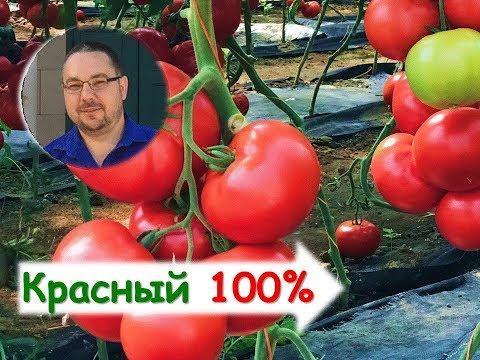 Снова красный круглый! Объективно - лучший томат сезона. Устали собирать :) | вырастить | помидоры | томатов | теплицы | парники | красные | гибриды | томаты | лучшие | помид