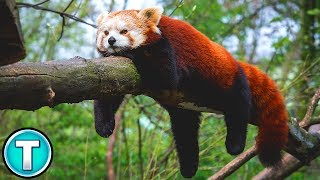 World's Weirdest Animals: Red Panda