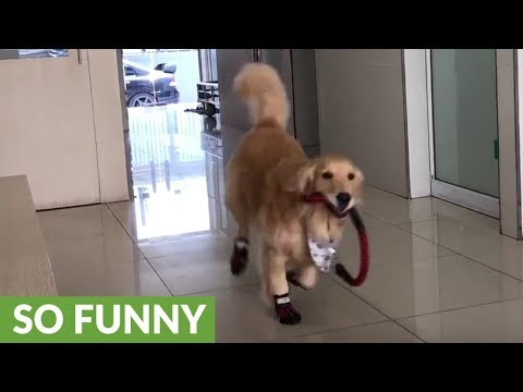 Golden Retriever thinks vet's office is a playground