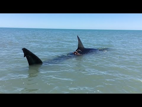 Paddling Next To Great White Shark
