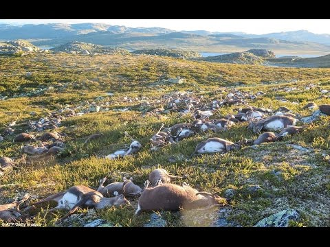 MORE THAN 300 REINDEER KILLED BY A SINGLE LIGHTING IN NORWAY AUGUST 31, 2016