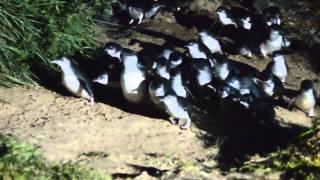 Blue Penguin   Oamaru NZ