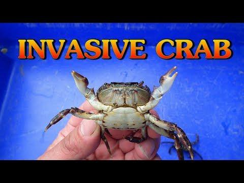 Invasive Crab Species Gains A Foothold ( Hemigrapsus Sanguineus )