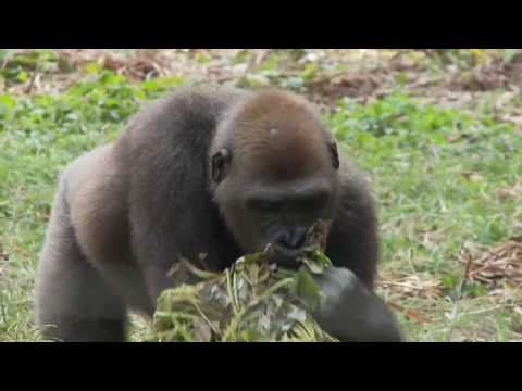 Cross River Gorilla Conservation