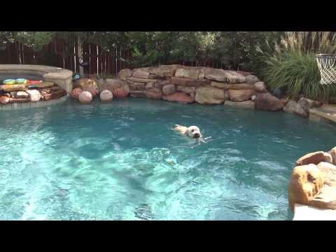 Soft Coated Wheaten Terrier swimming