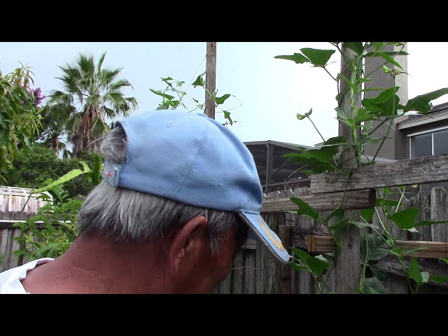 NVTC2 Vườn Tược (Kỹ thuật trồng Bí, Nho, Hủ Qua/Khổ Qua/Mướp Đắng, Đậu Bún/Đậu Đũa)   Hai Cha Con