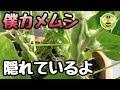 枝豆ソックリでよく見えない害虫「カメムシ」大量発生で緊急収穫、根粒菌、ゆで方