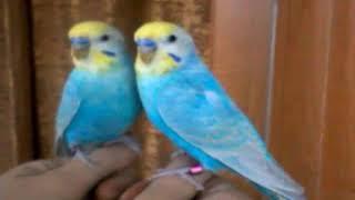 Приручение радужного волнистого попугая.