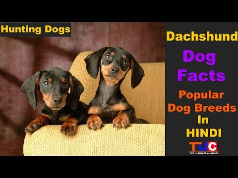 Dachshund Dog Breed Facts : Popular Dogs : TUC : The Ultimate Channel