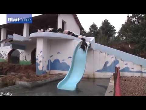 Lợn Nhảy Cầu - Bay như Siêu Nhân | Cái Kết Bất Ngờ