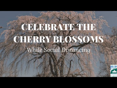 How To Celebrate The Ault Park Cherry Blossoms While Social Distancing